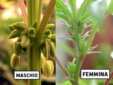 differenza-maschio-femmina-cannabis